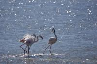 Greater Flamingo Birds Camargue France