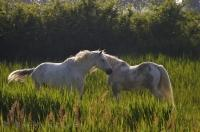The Camargue Horses roam free in the fields of the Camargue in the Bouches-du-Rhone of the Provence, France.