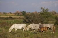 A family of wild Camargue horses grazing in the pastures in Parc Naturel Regional de Camargue in the Bouches du Rhone in Provence, France in Europe.