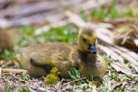 A young baby Canada Goose Gosling sits and rests at the Marsh Boardwalk in Point Pelee National Park in Leamington Ontario. These baby Geese look nothing like a fully grown Canada Goose, but they do grow up to become the large well known Canadian Goose.