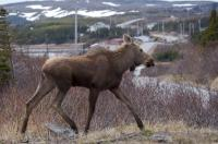 A moose wanders near the side of the road in the small town of St. Lunaire-Griquet on the Great Northern Peninsula of Newfoundland, Canada.