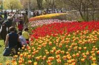A must see sightseeing excursion while visiting in Ontario Canada, is the Ottawa Tulip Festival in Spring.
