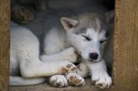 Canadian Eskimo Dog Puppies Picture