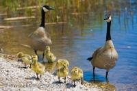A pair of Canadian Geese watch over their goslings on the marsh shores of Lake Erie in Point Pelee National Park in Leamington, Ontario in Canada.