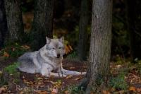 A Timber Wolf, more commonly known as a Gray Wolf, looks directly at the camera in Parc Omega, located in Montebello, Outaouais, in Quebec, Canada. This species of wolf is the largest member of the Canidae family, which includes coyotes, jackals, wolves.