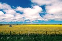 A field full of blossoming canola flowers spreads for miles across the landscape in eastern Alberta in Canada.