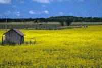 A beautiful bright yellow field of canola flowers contrasts with a small shed in middle of the field and the surrounding landscape.