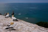 Perched high above the turquoise colored waters of the Pacific Ocean, three Australasian Gannets take time out at the Cape Kidnappers colony in Hawkes Bay, New Zealand.