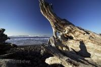 The pristine stoney beach along the Oregon Coast at Cape Meares strewn with driftwood.