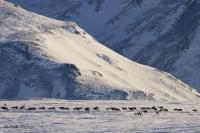 wild caribou herd