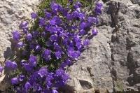 Bell shaped flowers cascade across the rock wall, adorning a cleft, located near Place Victoria in Gourdon, Provence in France.