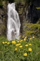 A cascading waterfall backdrops the yellow buttercups in the Val d'Aran nestled in the Pyrenees mountains in Catalonia, Spain.