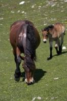 Two horses, a mother and her foal roam the green pastures of Bonaigua Pass in the Pyrenees in Catalonia, Spain.