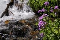 Purple flowers blossom beside a waterfall along the road to Cascade de Sauth deth Pish in the Val d Aran in Catalonia, Spain.