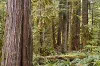 Cathedral Grove Forest Vancouver Island