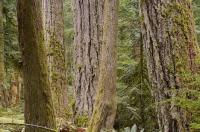 A picture of a mass of old growth trees fill the rainforest in Cathedral Grove in MacMillan Provincial Park on Vancouver Island in British Columbia, Canada.