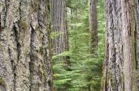 Massive trees that are hundreds of years old fill the forest of Cathedral Grove in MacMillan Provincial Park on Vancouver Island, British Columbia.