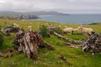The sheep of the Catlins coastline love to spend the day grazing on the green pastures overlooking the beautiful scenery of Otago, New Zealand.