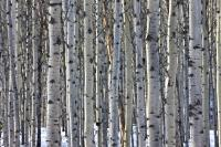 Closely spaced Aspen Trees form a small forest in Jasper National Park in Alberta, Canada.