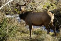 The scientific name for Roosevelt Elk is Cervus elephu roosevelti. Other common names are Olympic Elk or Wapiti.