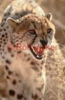 A cheetah showing teeth in Namibia.