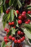 A cherry tree almost ready for picking in an orchard near Vall de Ebo in Valencia, Spain in Europe.