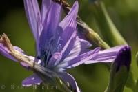 Chicory Flower La Source Parfumee Provence