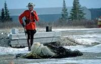 RCMP Officer with a polar bear in Churchill in Manitoba in Canada