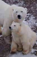 A family portrait of polar bears on the tundra in the Churchill Wildlife Management Area of Hudson Bay, Manitoba Canada.