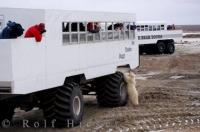 Passangers are thrilled to see wildlife including a polar bear cub during a tundra buggy adventure tour from Churchill in Manitoba, Canada.