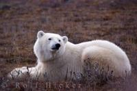 Climate Change Impact On Wildlife Polar Bears
