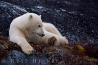 The Polar Bear, Ursus maritimus, evolved from the brown bear over 200,000 years ago, but today their existence is threatened by climate change and it's effects on the polar bear habitat.