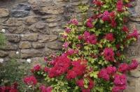 Brilliant colored roses climbing the stone wall near the village of Riglos in Huesca, Aragon in Spain, Europe.