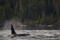 Coastal Killer Whale Northern Vancouver Island BC