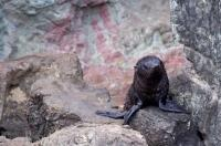 Looking helpless and alone on the coastline rocks at Cape Palliser on the North Island of New Zealand, a New Zealand Fur Seal pup waits patiently for its mother's return.