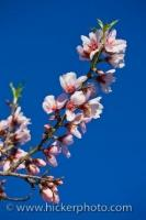 During the Spring in the Comunidad Valenciana in Spain, a single branch on an Almond Tree begins to explode with small colorful flowers in light pink hues with darker shades around the base of the blossom and in the center.