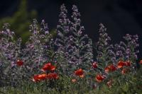 Colorful wildflowers grow freely throughout the landscape of Huesca, Aragon in Spain, Europe.