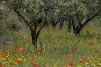 Colourful wildflowers surround the Olive groves near Castell de Castells in Valencia, Spain in Europe.