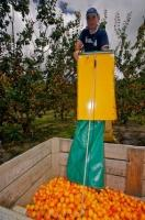 As part of the commercial apricot harvest in Roxburgh, in Central Otago, New Zealand, a commercial picker prepares to unload fresh picked apricots in to a container in an orchard. This region is known for fruit growing and harvesting.
