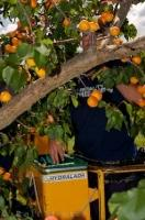A commercial fruit picker spends days picking each apricot from the tree in an orchard near Roxburgh in Central Otago on the South Island of New Zealand.