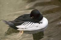 A male Common Goldeneye Duck rests on the water surface at the Biodome de Montreal, Quebec, Canada.