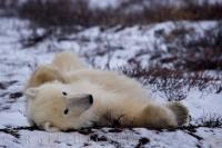 Cool Polar Bear Photo Hudson Bay Canada