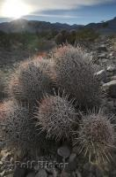 The spiny Cotton Top cactus found in Death Valley National Park makes for an interesting picture.