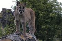 A young cougar stands amongst the greenery from atop a rock scoping out its next move in British Columbia, Canada.