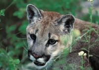 Cougar Pictures, Portrait of a Mountain Lion on Vancouver Island, British Columbia