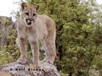 A beautiful but also dangerous sight, a cougar animal, also known as mountain lion. This stock photo of a cougar shows a fairly young animal.