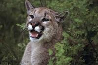 Mountain Lion Cougar Animal