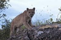 A Cougar or Mountain Lion stalks its prey in the same manner as a domestic cat. This cougar was photographed on Vancouver Island, British Columbia.