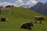 Cow Breeds Pyrenees Mountain Pass Catalonia