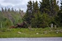 A female moose also called a cow, wanders through the wilderness towards the banks of the Tuckamore Pond in Main Brook, Newfoundland.